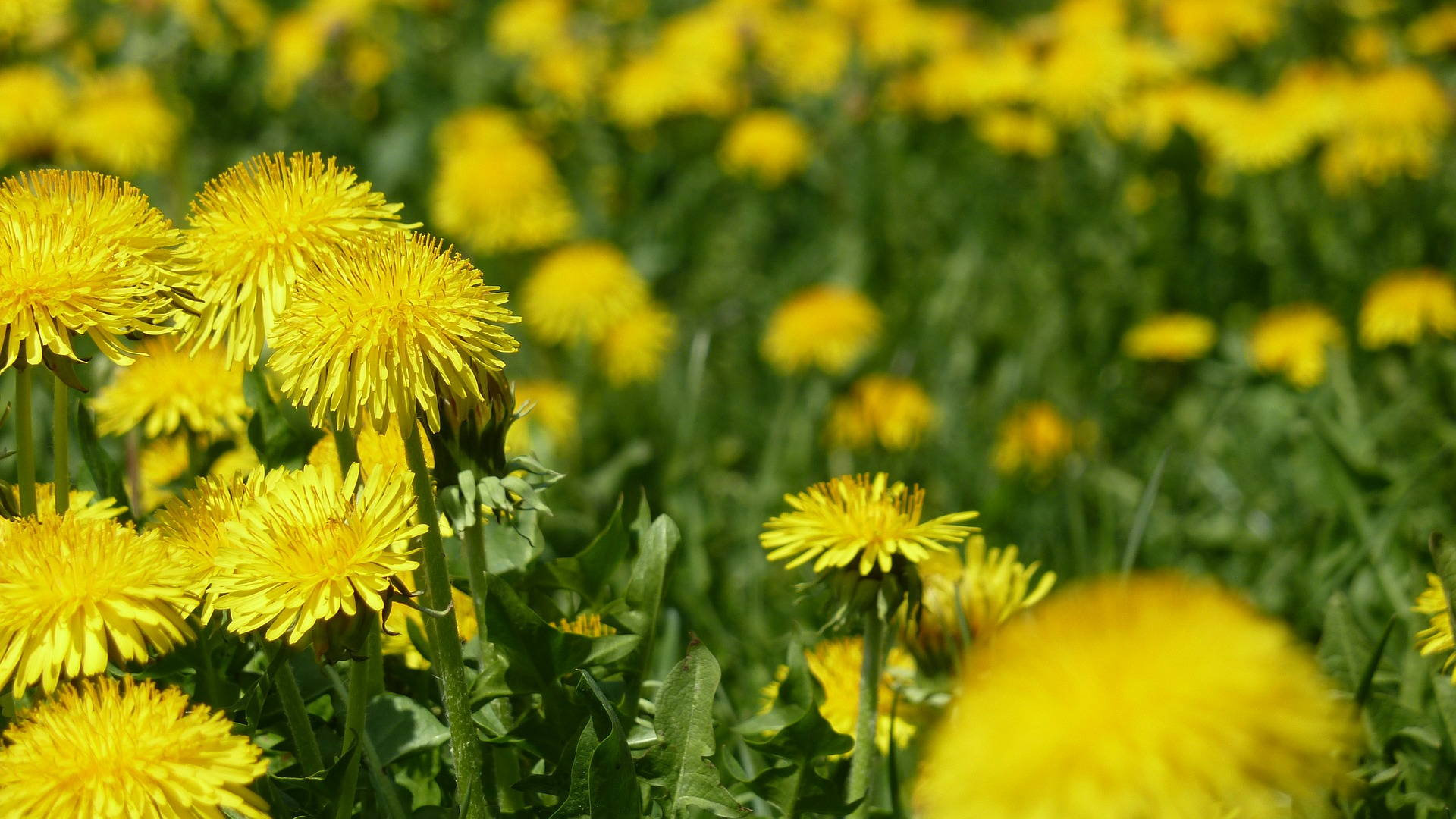 how to prepare dandelion root for eating